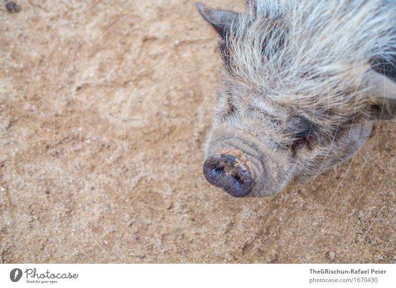 Spider pig, spider pig, does whatever spider pig does.... Animal Farm animal 1 Brown Gray Black Silver Swine Sow Cute Snout Grunt Bristles Bacon Dirty Nose