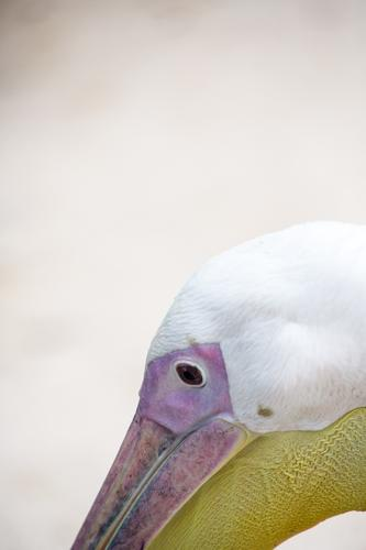 pelican Animal 1 Brown Yellow Violet Pink White Pelican Living thing Beak Vessel Eyes Head Colour photo Exterior shot Deserted Copy Space top