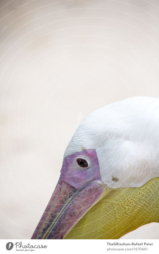 White Animal Eyes Yellow Head Brown Pink Living thing Violet Beak Vessel Pelican