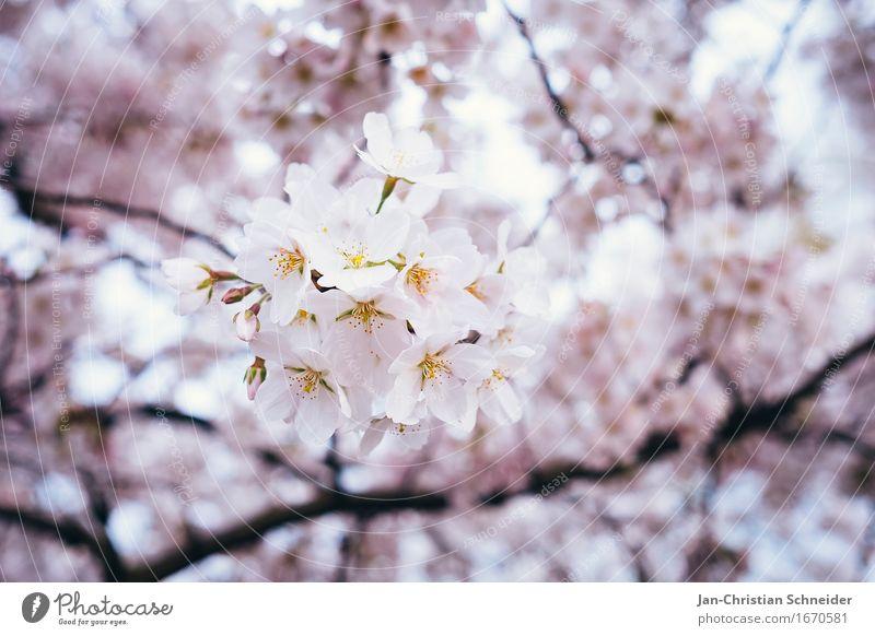Cherry Elegant Relaxation Environment Spring Tree Flower Blossom Cherry blossom Garden Park Health care Wellness Colour photo Detail Deserted