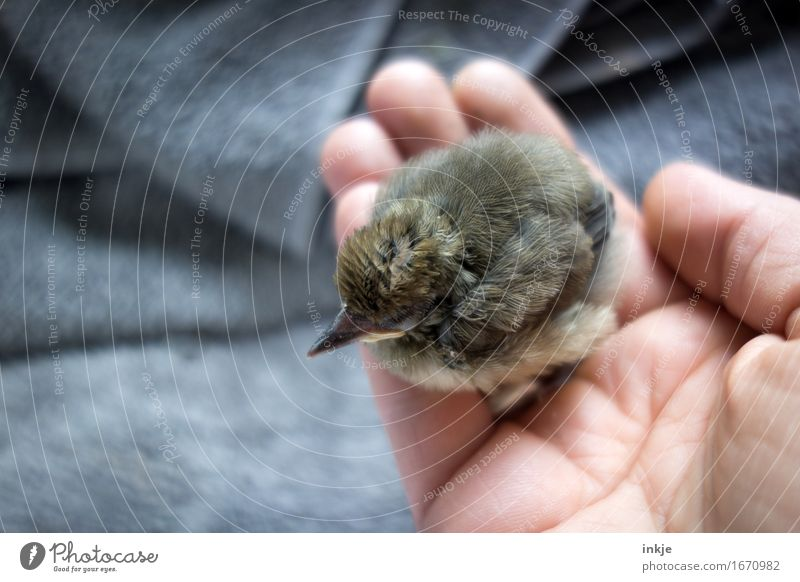 so small Hand Wild animal Bird Young bird Blackbird astling 1 Animal Baby animal To hold on Crouch Small Cute Emotions Trust Protection Safety (feeling of)