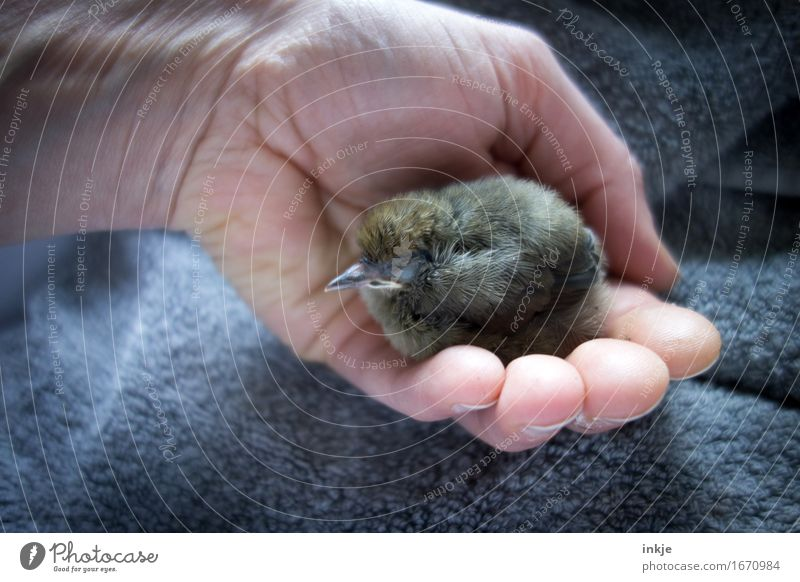 Secure Hand Wild animal Bird Young bird Blackbird 1 Animal Baby animal Relaxation To hold on Crouch Sleep Small Cute Emotions Safety Protection
