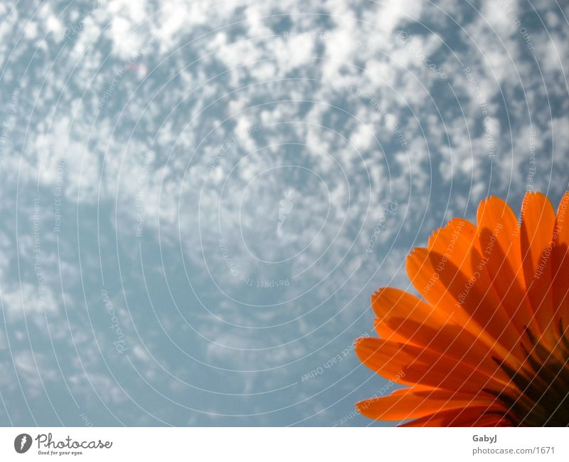 noon Livingstone daisy Marigold Clouds Sky Red Hope Life Blue Sun noon sky stretch up flower Orange Upward