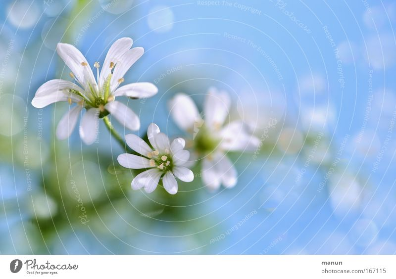 White Flower Blue Plant Summer Calm Style Spring Bright Design Drops of water Fresh Happiness Esthetic Romance Kitsch