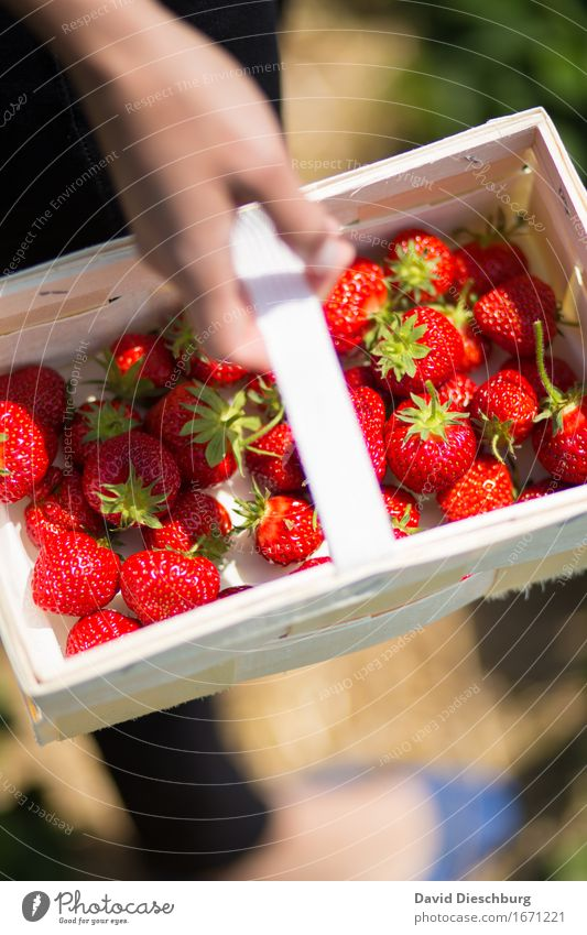 Collector II Fruit Nutrition Organic produce Vegetarian diet Agriculture Forestry Hand Nature Spring Summer Beautiful weather Plant Field Green Red Strawberry