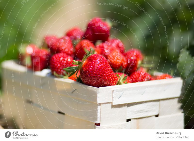 Strawberry Season II Food Fruit Nutrition Organic produce Vegetarian diet Agriculture Forestry Trade Nature Summer Beautiful weather Plant Field Yellow Green