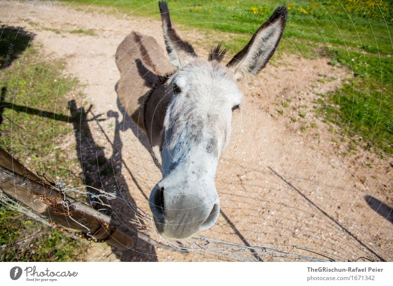 El Burro 2 Animal 1 Exceptional Cool (slang) Brown Gray Green Black Silver White Donkey Dog-ear Curiosity Funny Snout Nose Pasture Meadow To feed Face