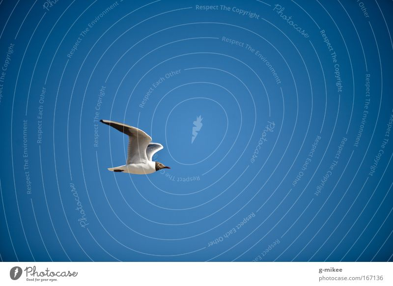 aerodynamics Environment Air Sky Cloudless sky Bird 1 Animal Flying Colour photo Exterior shot Aerial photograph Deserted Copy Space right Copy Space top