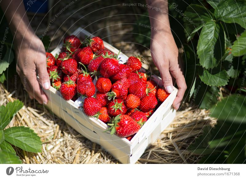 Nature Plant Summer Green Hand Red Yellow Spring Healthy Food Fruit Field Fresh Nutrition Sweet Beautiful weather