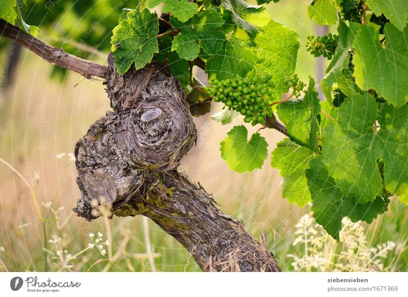 This will be a good vintage. Alcoholic drinks Vacation & Travel Summer Agriculture Forestry Nature Landscape Plant Animal Beautiful weather Wine Vineyard