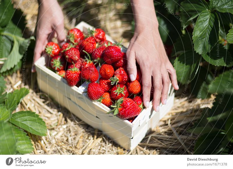Red Gold Food Fruit Nutrition Organic produce Finger food Nature Spring Summer Beautiful weather Plant Field Yellow Green Delicious Sweet Collection Strawberry
