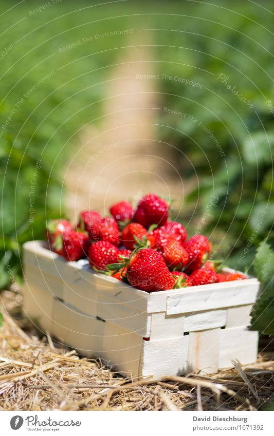 yield Food Fruit Nutrition Organic produce Vegetarian diet Agriculture Forestry Nature Spring Summer Beautiful weather Plant Field Yellow Green Red Strawberry