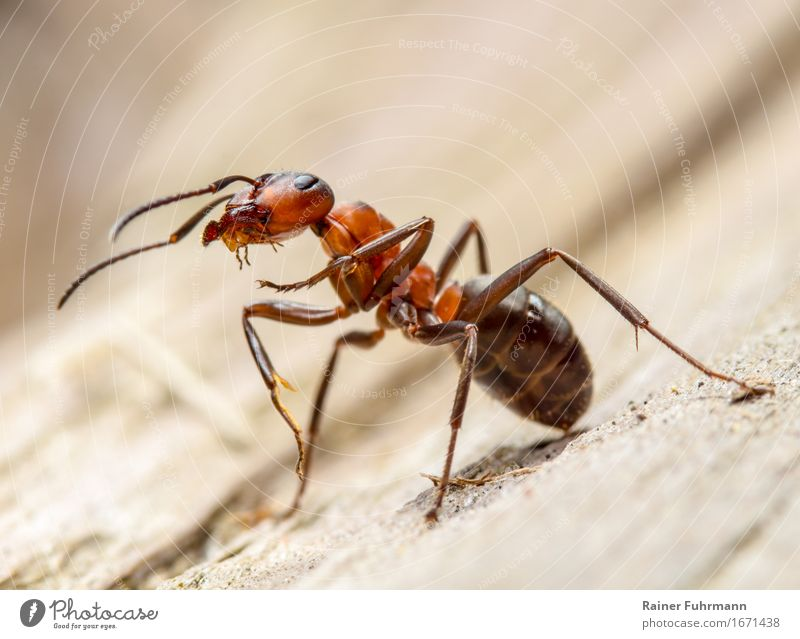 "Portrait of a red wood ant Environment Nature Animal ""Red wood ant Ant"" 1 Work and employment Observe Stand Threat Curiosity Willpower Brave Determination"