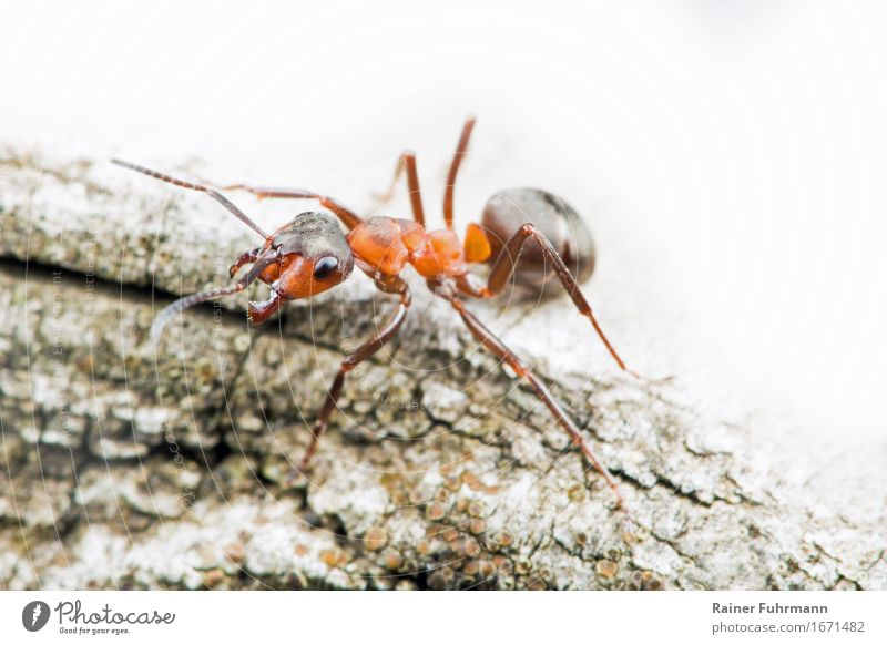 """a red wood ant Nature Animal Wild animal """"Ant """"Wood ant"""" 1 Observe Walking Aggression Small Bravery Power Determination Resolve """"guard labourer Social"""