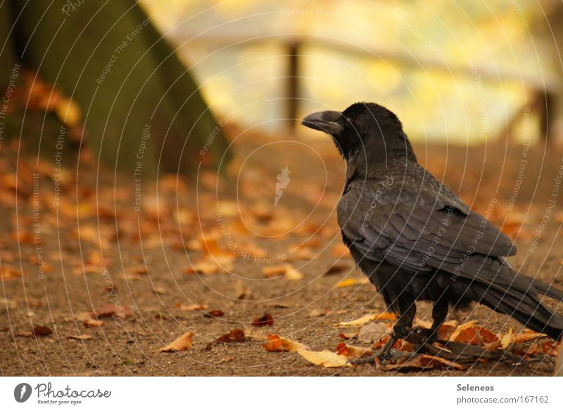 captive Colour photo Exterior shot Deserted Copy Space left Day Animal portrait Wild animal Bird Wing 1 Observe Catch Smart Loneliness Threat Raven birds