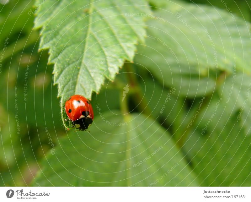 stepping stone Beetle Ladybird Insect Seven-spot ladybird Nature Environment Leaf Red Green Small Crawl Happy Good luck charm Point departure launch Bushes