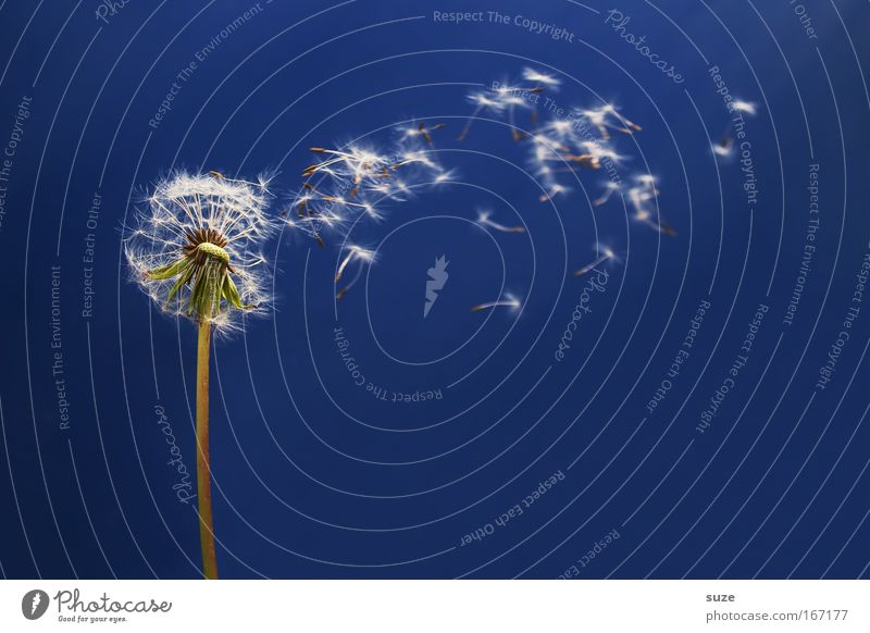 Nature Plant Blue Beautiful Flower Environment Movement Natural Happy Flying Dream Esthetic Happiness Ease Dandelion Easy