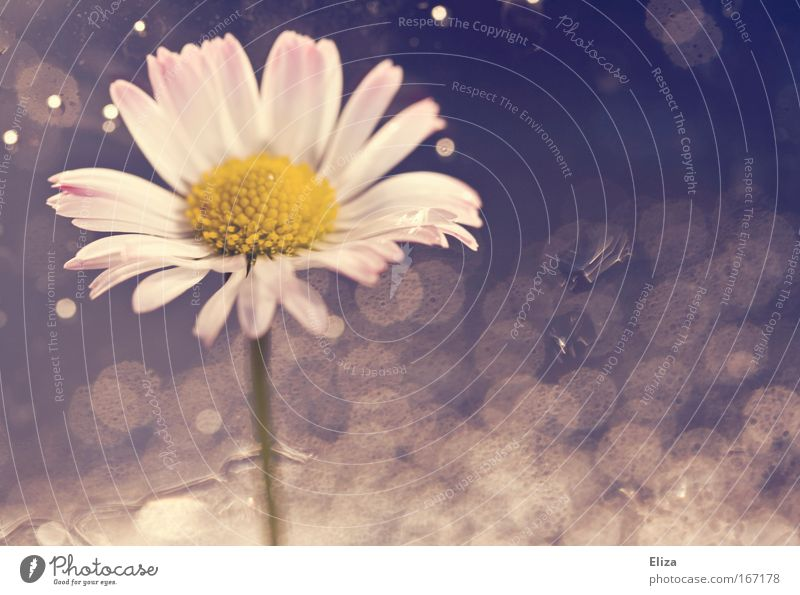 daisy blubber Subdued colour Copy Space right Artificial light Light (Natural Phenomenon) Plant Flower Blossom Esthetic Point of light Water Bubble Fresh Pink