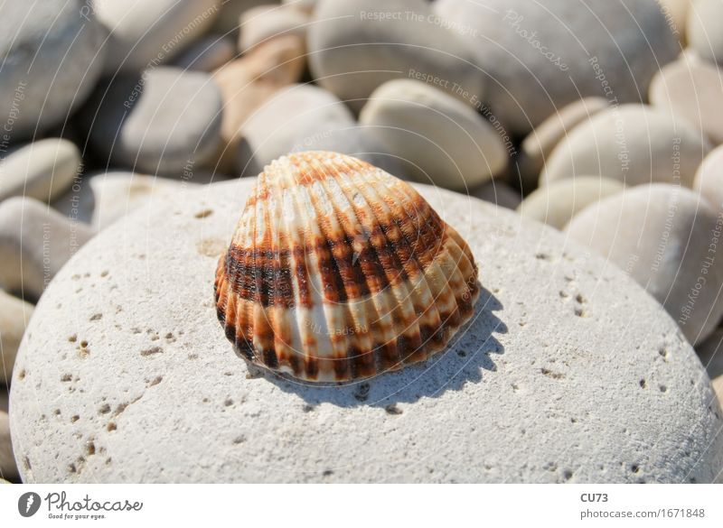 Shell on stone Nature Summer Beautiful weather Rock Coast Beach Discover Relaxation Simple Brown Gold Colour photo Multicoloured Exterior shot Close-up Detail