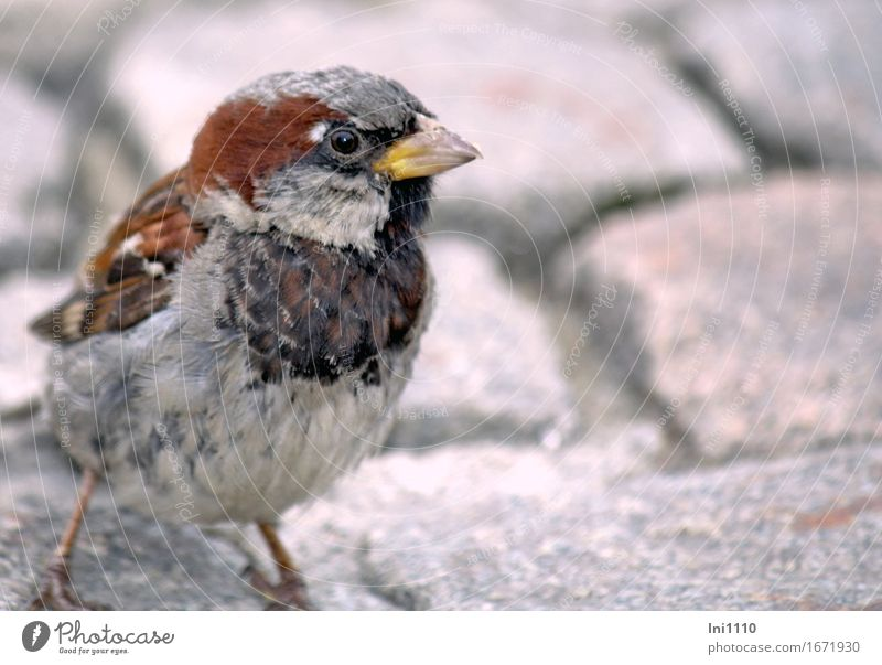 sparrow Marketplace Wild animal Bird Animal face Sparrow 1 Cute Brown Yellow Gray Black White Nature Beak Eyes Feather Individual Beg Colour photo