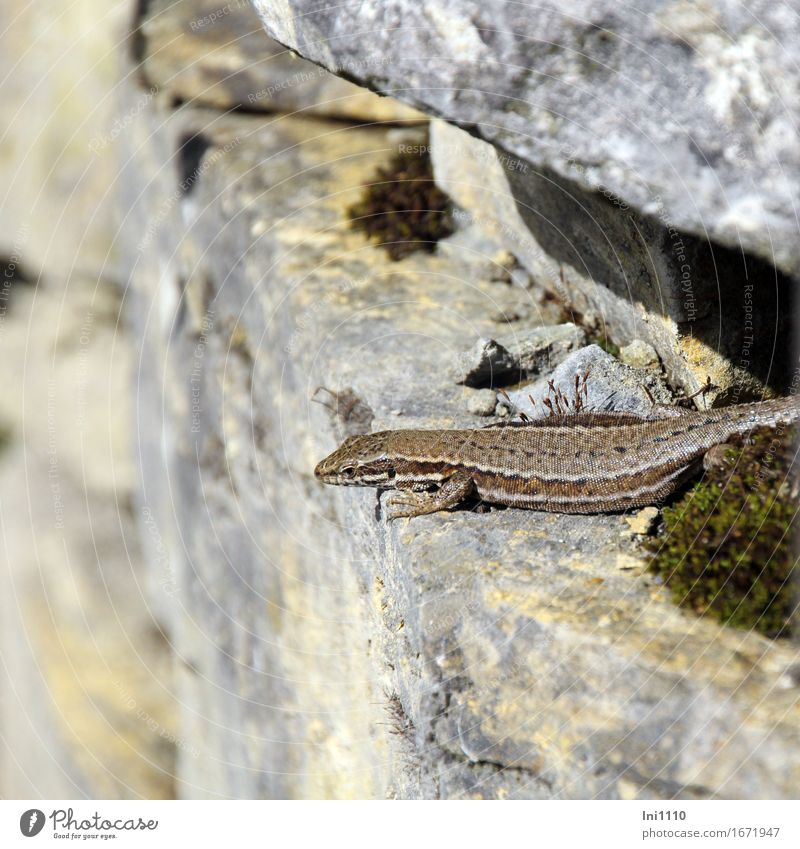 lizard Environment Nature Animal Sunlight Summer Beautiful weather Rock Wild animal Animal face Scales Claw Wall lizard 1 Stone Observe Blue Brown Yellow Gray