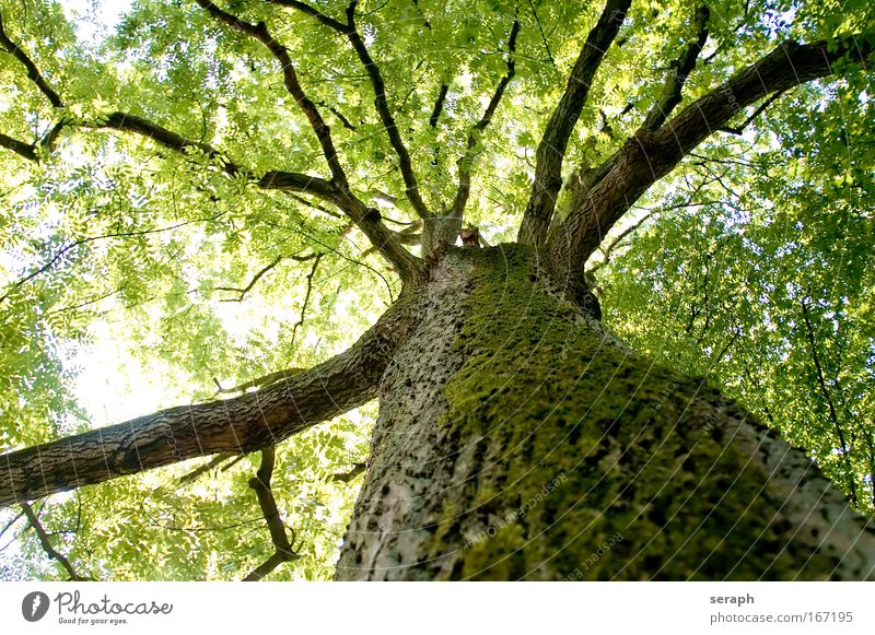 Robinia Treetop Ancient Ambience atmospherical Back-light bark Branch Branched Branchage canopy crown of tree Crust dendritic dreamful filigree flora Floral