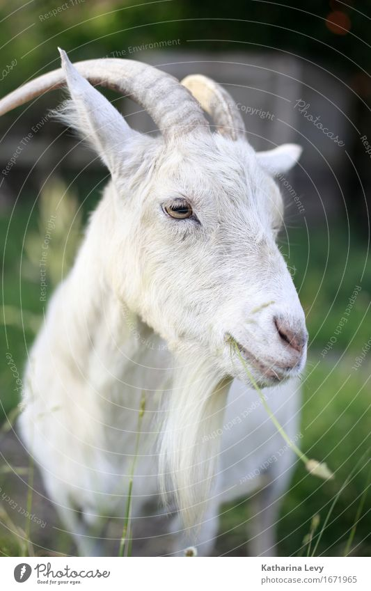 y2 Trip Beautiful weather Grass Garden Meadow Animal Pet Farm animal Animal face Goats Antlers Pelt 1 To feed Natural Cute Soft Green White Break