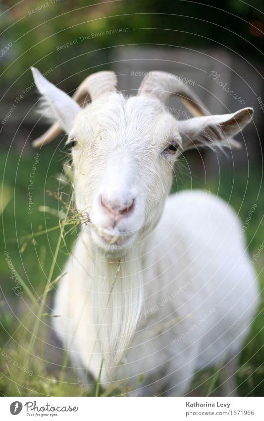 Y Plant Grass Garden Alpine pasture Village Deserted Animal Farm animal Goats Goatskin Antlers 1 Observe To feed Friendliness Curiosity Cute Green