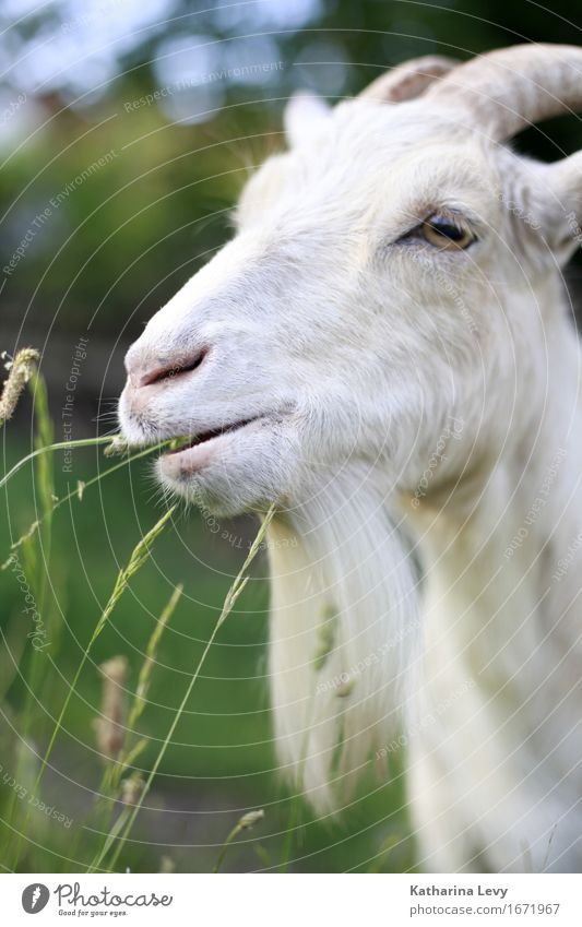 y3 Summer Grass Animal Pet Farm animal Goats Pelt Antlers 1 Cool (slang) Natural Cute Soft Green White Love of animals Peaceful Serene Environmental protection