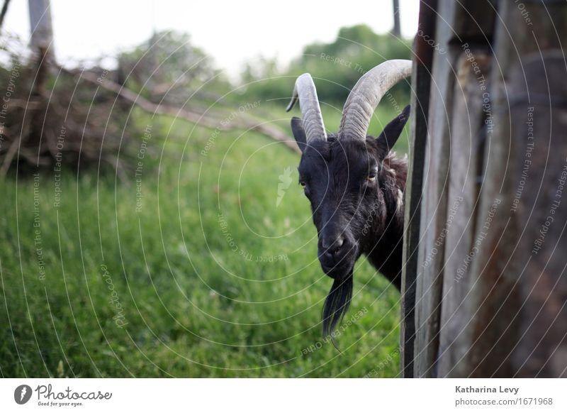 y4 Trip Summer Grass Garden Meadow Village Deserted Farm Animal Pet Farm animal Wild animal Goats Antlers Pelt 1 Observe Curiosity Brown Green Love of animals