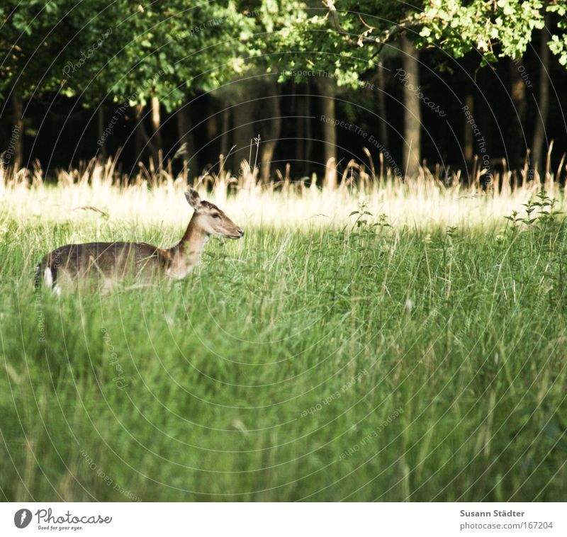 A little deer stands in the woods. . . Colour photo Exterior shot Deserted Copy Space left Copy Space right Copy Space top Copy Space bottom Evening Twilight