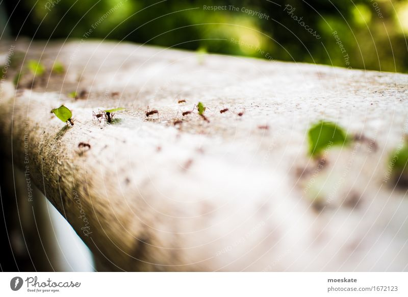 Ants in Costa Rica Group of animals Green Column of ants Insect Work and employment Diligent Carrying Logistics Colour photo Exterior shot