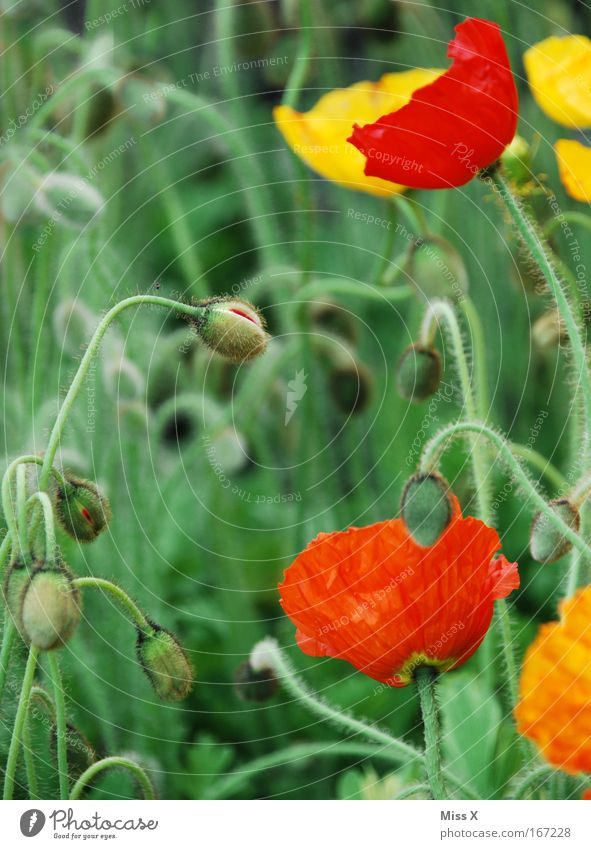 poppy Colour photo Multicoloured Exterior shot Close-up Detail Shallow depth of field Nature Plant Flower Blossom Wild plant Pot plant Meadow Field Growth Green