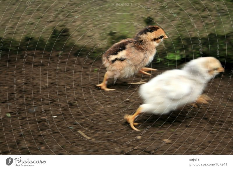 White Animal Movement Brown Fear Running Speed Dangerous Threat Cute Escape Fear of death Pet Barn fowl Horror Chick