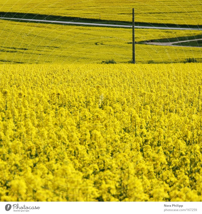 Nature Plant Calm Yellow Blossom Spring Lanes & trails Landscape Field Environment Esthetic Idyll Beautiful weather Symmetry Canola Agricultural crop