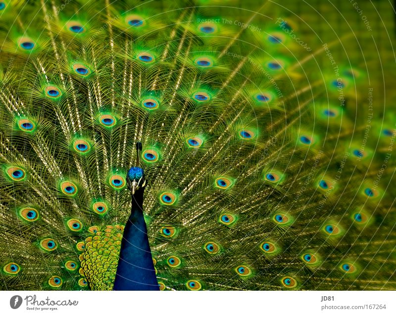 Animal Elegant Esthetic Animal face Zoo Wild animal Bird Peacock
