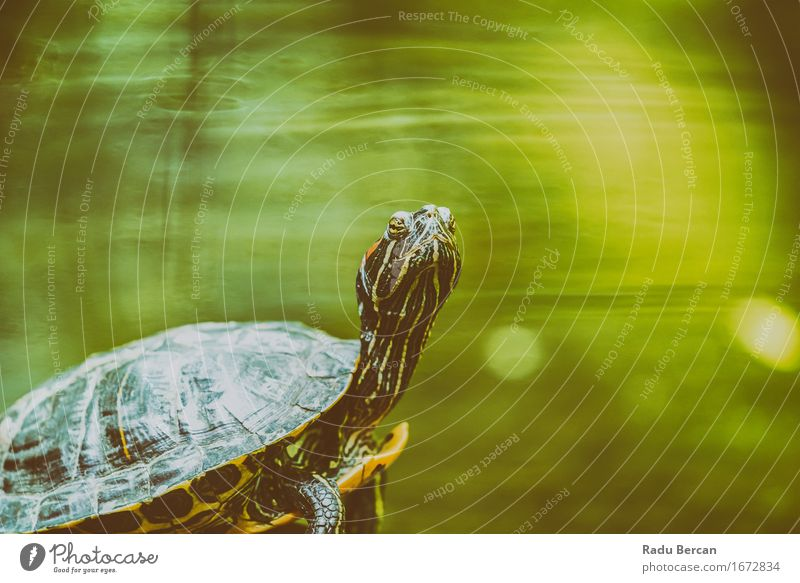 Pond Turtle Heating In The Sun On Rock In Lake Water Nature Animal Wild animal Animal face 1 Green Tortoise Portrait photograph Animal portrait Close-up