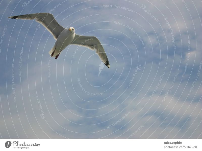 Nature Beautiful Sky Blue Clouds Animal Movement Freedom Contentment Power Bird Elegant Flying Free Might Peace