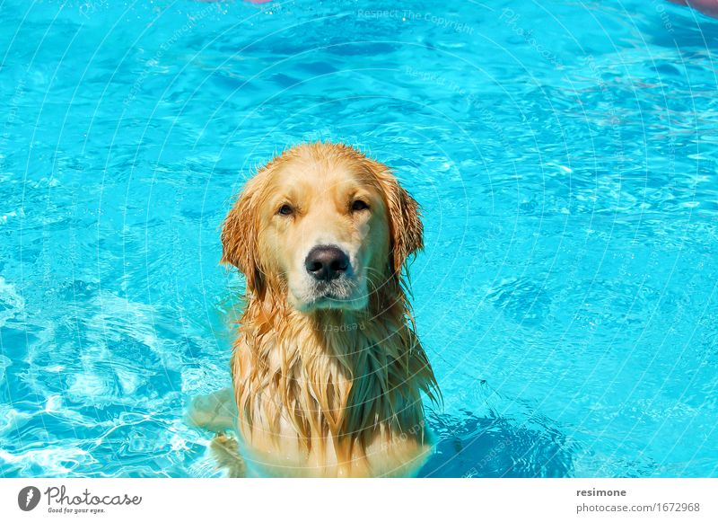 Dog taking a bath in a pool on summer time Joy Happy Face Life Swimming pool Playing Summer Laboratory Friendship Animal Fur coat Pet Wet Cute Blue Brown Yellow