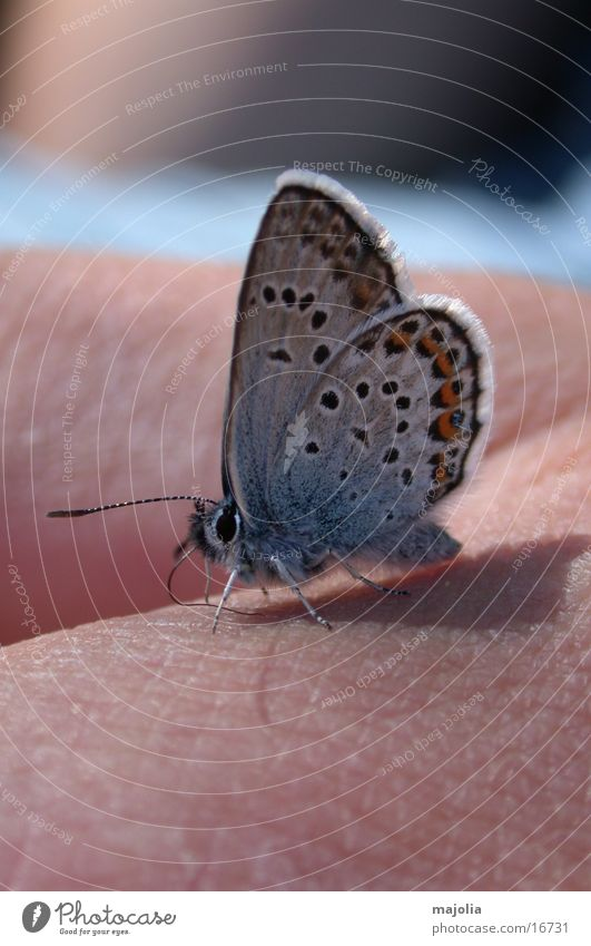 hungry butterfly Butterfly Hand Transport Macro (Extreme close-up) Blue