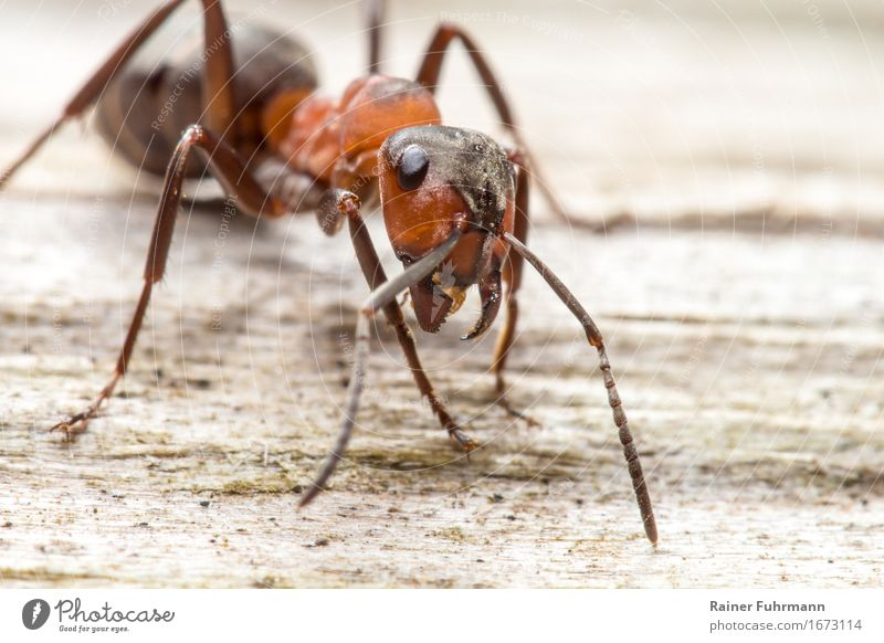 """Portrait of a red wood ant Environment Nature Animal Animal face """"Ant Red Ant"""" 1 Exceptional Threat Curiosity Wild Bravery Love of animals Colour photo Close-up"""