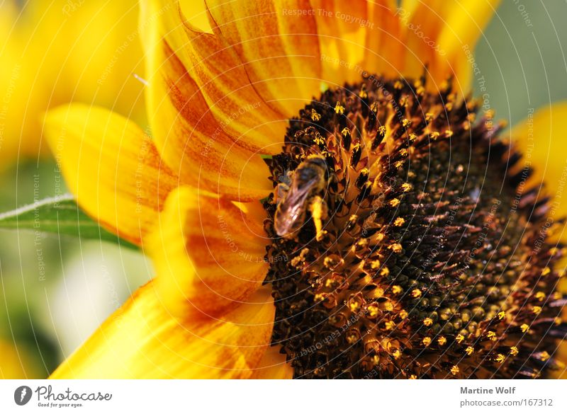 sunflower Nature Plant Animal Summer Blossom Sunflower Bee 1 Blossoming Brown Yellow Joie de vivre (Vitality) Diligent Collection Colour photo Exterior shot