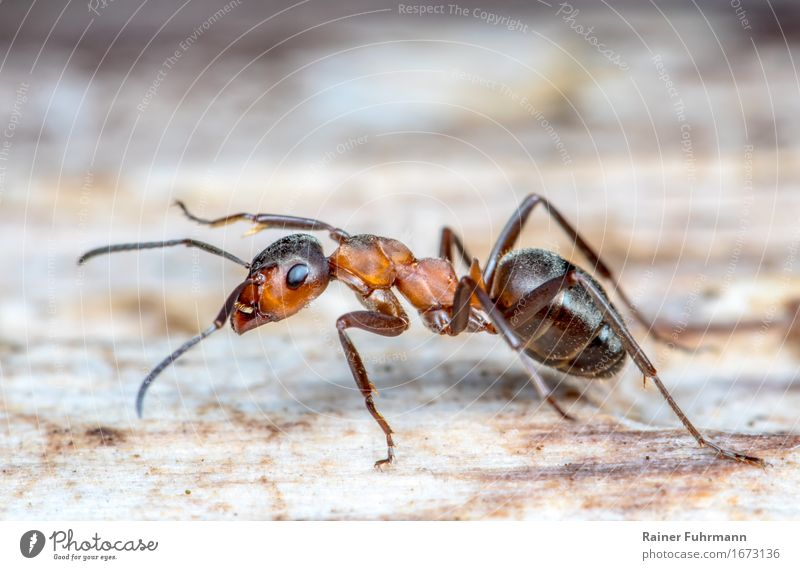"""a red wood ant Animal Wild animal """"Ant Red Ant"""" 1 Work and employment Walking Running Positive Speed Dedication Responsibility Attentive Effort Movement Nature"""