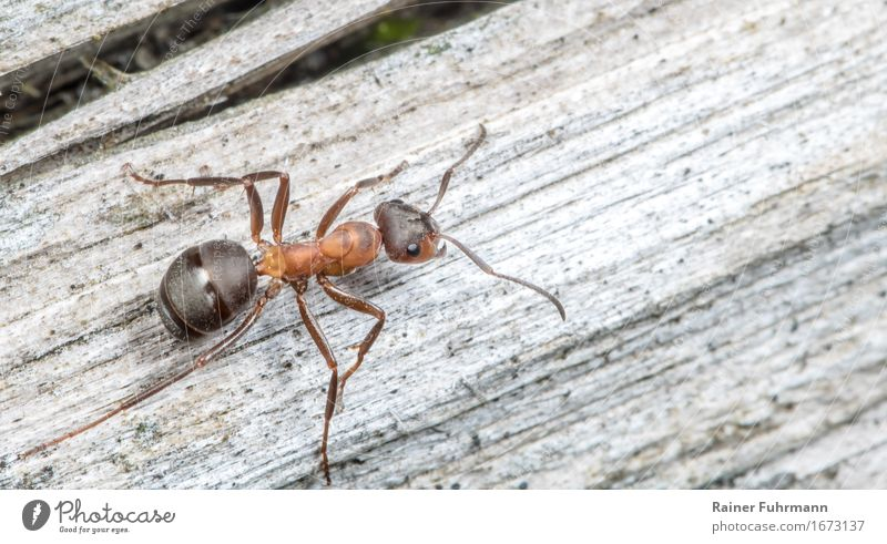 """a red wood ant """"Red wood ant Ant"""" 1 Animal Observe Movement To feed Fight Crawl Bravery Diligent Nature Colour photo Macro (Extreme close-up) Copy Space right"""