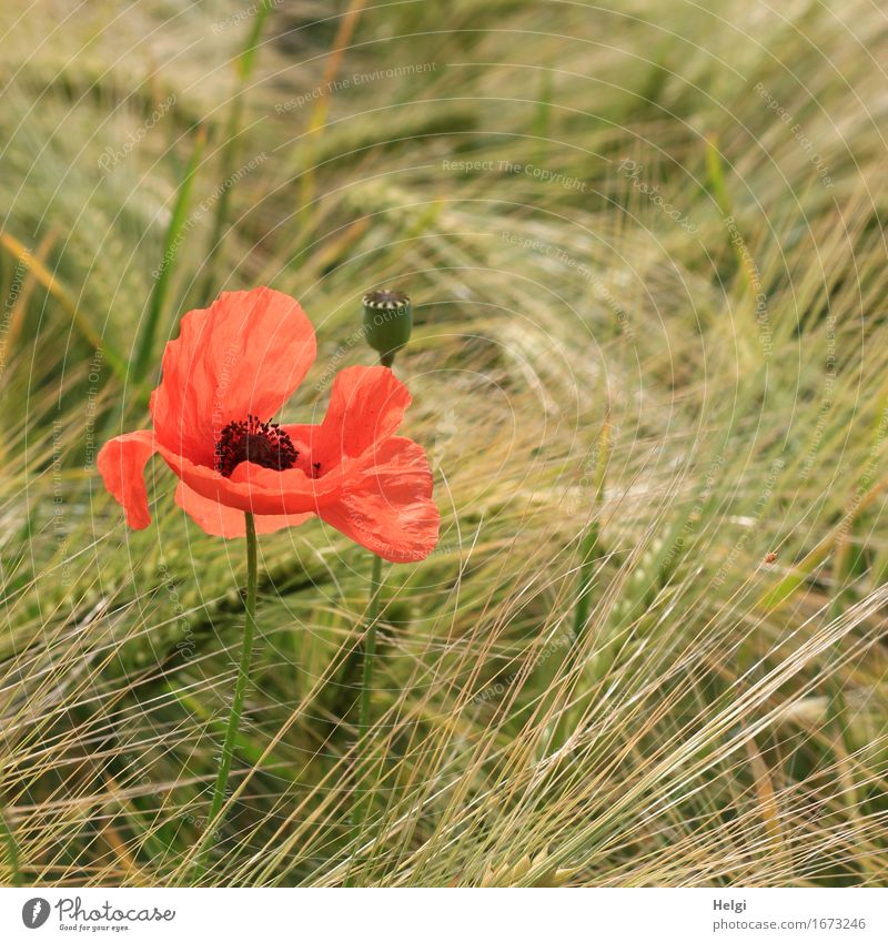 Poppy on Tuesday... Environment Nature Plant Spring Beautiful weather Flower Agricultural crop Grain Barley Poppy blossom Seed Ear of corn Field Blossoming