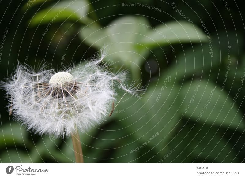 Take off! Nature Plant Summer Flower Wild plant Dandelion Meadow Beautiful Cuddly Kitsch Near Blown away Colour photo Subdued colour Exterior shot Close-up
