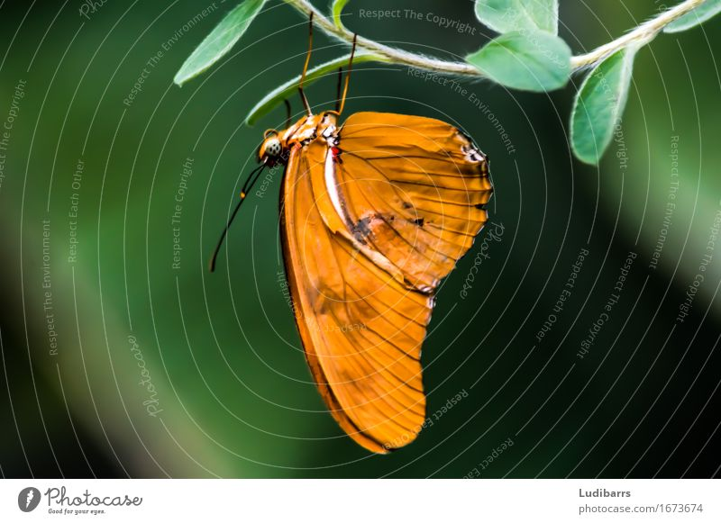 Julia Butterly in florida Butterfly Brown Green Orange wings Nature newly born Colour photo Close-up