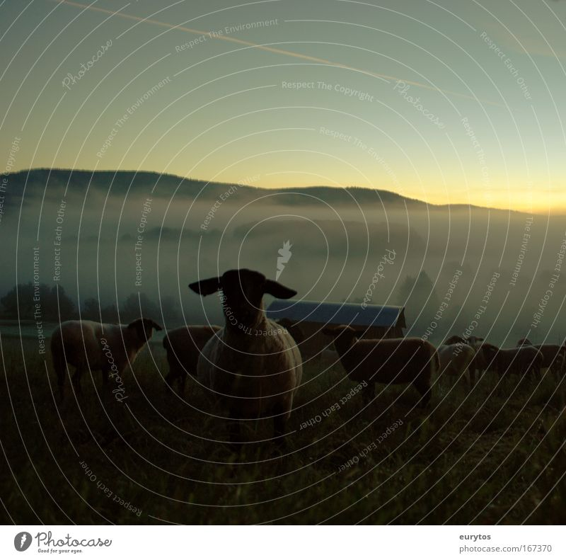 Sky Summer Animal Landscape Weather Field Climate Fog Group of animals Beautiful weather Sheep Environmental protection Herd Farm animal