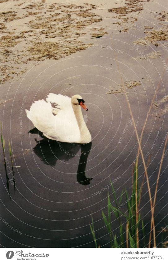 White Green Red Animal Grass Lake Brown Swan