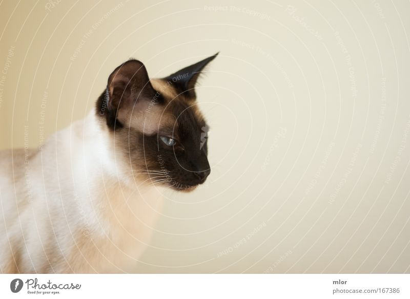Cat Animal Black Yellow Brown Wild Threat Animal face Anger Watchfulness Pet Respect Pride Domestic cat Conceited Mistrust